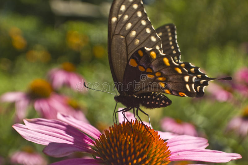 Swallowtail butterfly profile on Echinacea flower extreme. Swallowtail butterfly profile on Echinacea flower close up royalty free stock photo