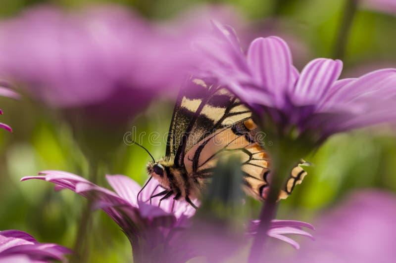 Swallowtail butterfly in a purple daisy field stock images