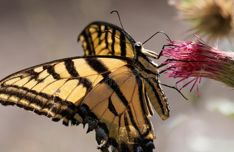 Swallowtail Butterfly with it`s tongue extended. A Swallowtail butterfly has it`s tongue extended and is drinking pollen from a desert flower royalty free stock photography