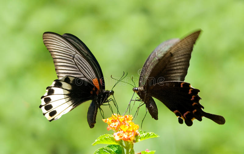 Swallowtail Butterfly share flowers. Two Swallowtail Butterflies share one flowers stock photos