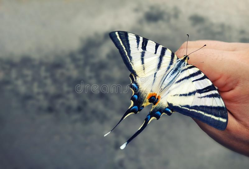 Swallowtail butterfly sitting on his hand. Beautiful insects. Gray blurred background. Nature protection concept. Papilio machaon royalty free stock photography