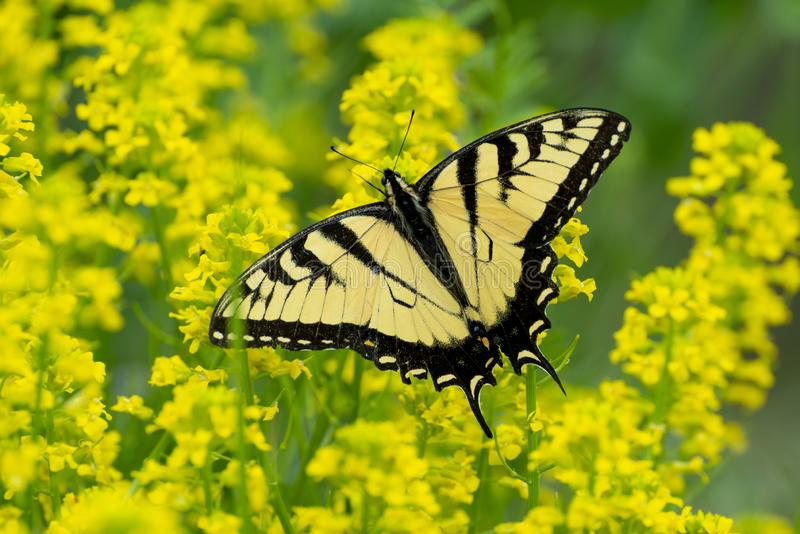 Swallowtail Butterfly From The Smoky Mountains. Horizontal shot of a beautiful swallowtail butterfly sitting on some tiny yellow flowers against a yellow out of stock images
