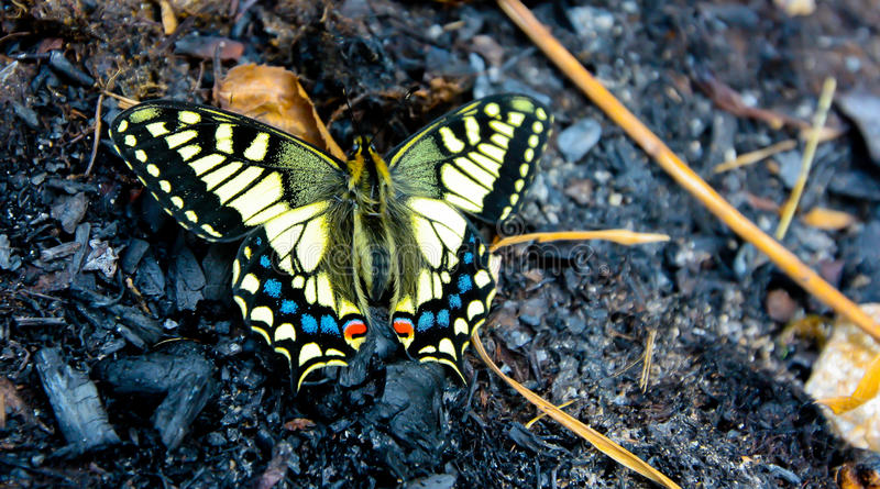 Swallowtail butterfly in spring royalty free stock photos