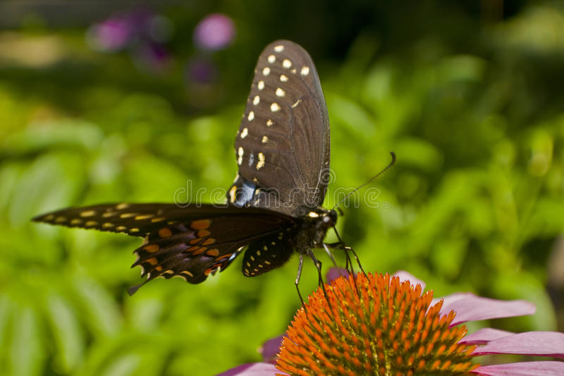 Swallowtail butterfly stands on Echinacea flower. Close up stock images