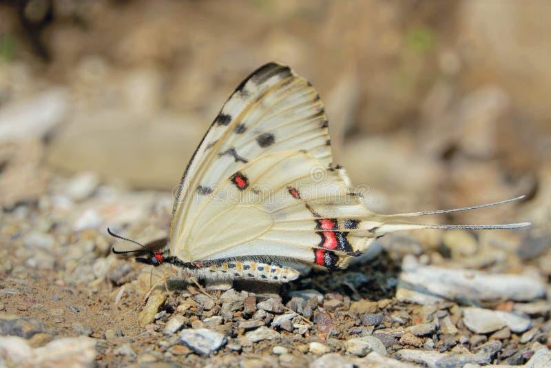 Swallowtail Butterfly. A Swallowtail Butterfly stands on ground. Scientific name: Sericinus montelus royalty free stock photography