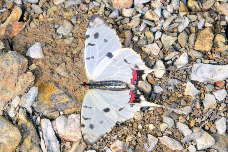 Swallowtail Butterfly. A Swallowtail Butterfly stands on ground. Scientific name: Sericinus montelus stock photo