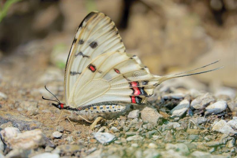 Swallowtail Butterfly. A Swallowtail Butterfly stands on ground. Scientific name: Sericinus montelus royalty free stock images