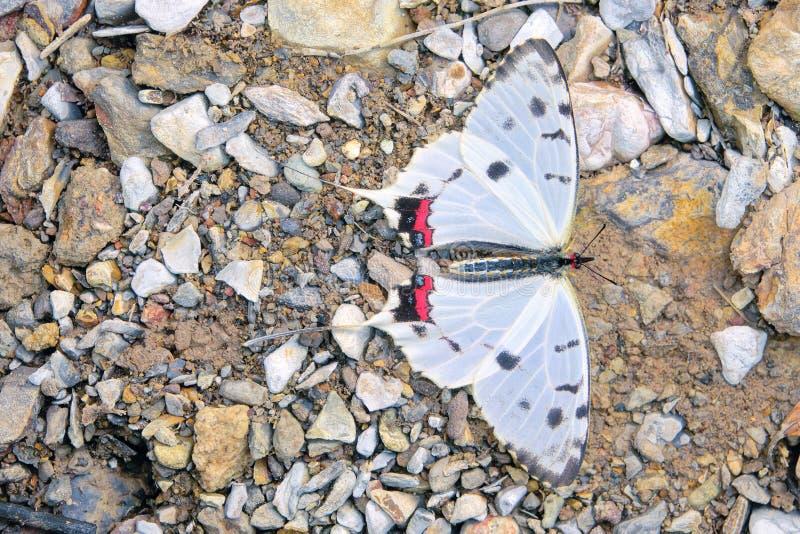 Swallowtail Butterfly. A Swallowtail Butterfly stands on ground. Scientific name: Sericinus montelus royalty free stock photos