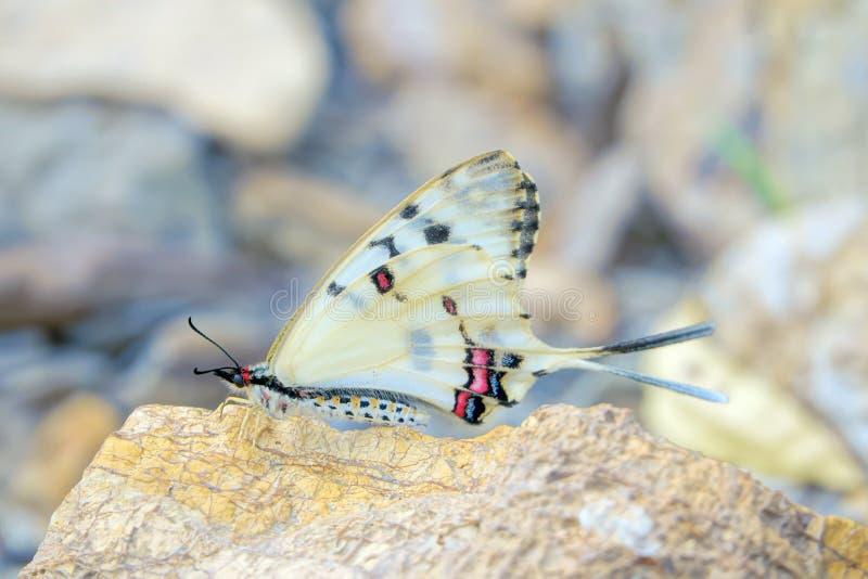 Swallowtail Butterfly. A Swallowtail Butterfly stands on rock. Scientific name: Sericinus montelus royalty free stock photography