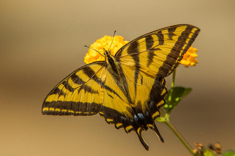 Swallowtail Butterfly stock photos