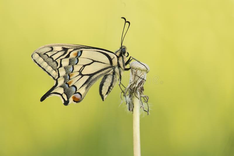 Swallowtail butterfly with wings closed seen from the side on a yellow background. A swallowtail butterfly with wings closed seen from the side on a yellow stock photo