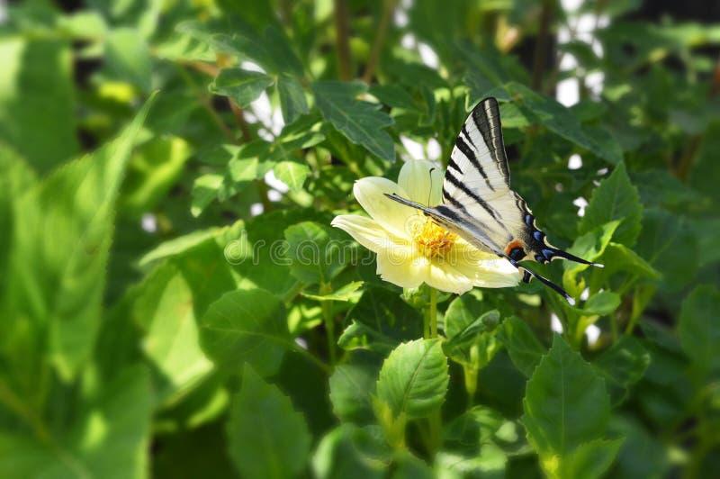 Swallowtail butterfly on yellow dahlia. Close up of swallowtail butterfly on yellow dahlia stock photos