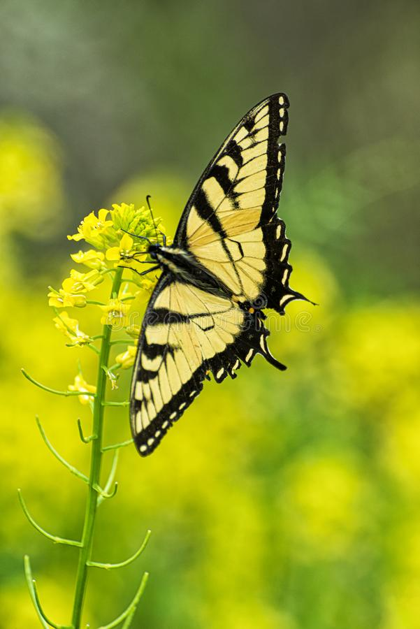 Swallowtail Butterfly On Yellow Flower With Copy Space. Vertical shot of a beautiful swallowtail butterfly sitting on some tiny yellow flowers against a yellow royalty free stock photo