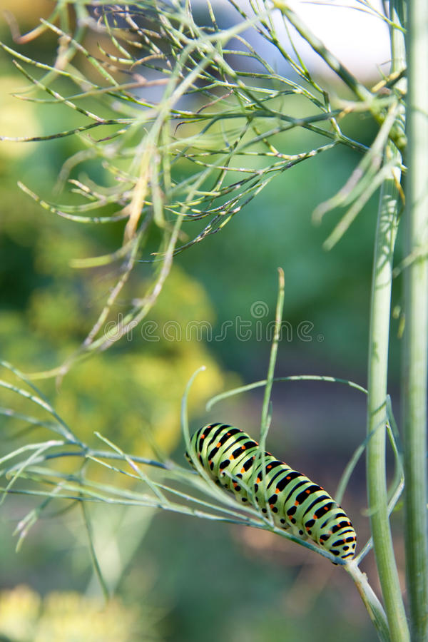 Swallowtail caterpillar on branches of green dill. Green caterpillar with black and red lines and spots stock images
