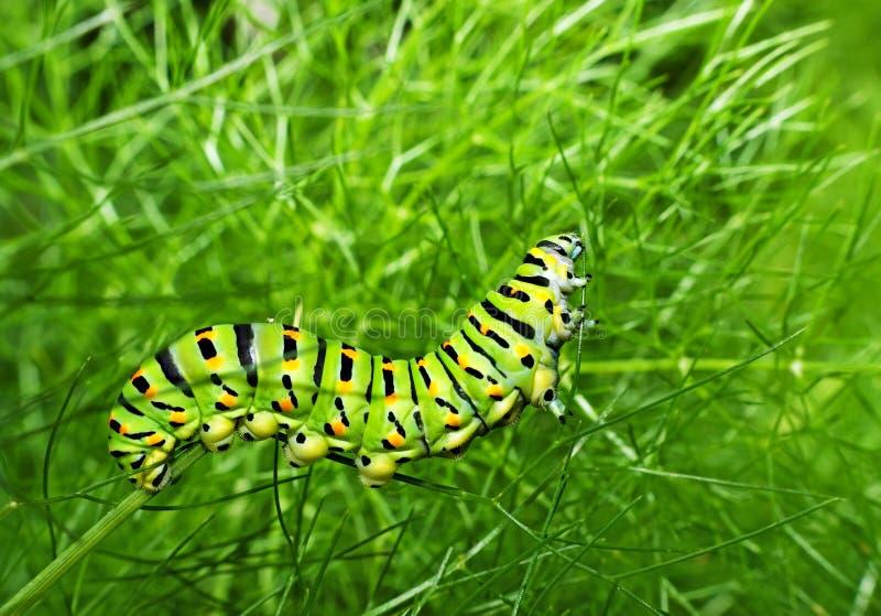 Swallowtail caterpillar feeding - unusual macro stock image