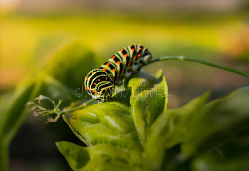 Swallowtail caterpillar on a leaf. Beautiful big caterpillar of Swallowtail on a green leaf royalty free stock images