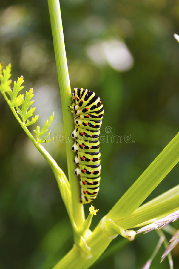 Swallowtail caterpillar on the stem of a plant. Swallowtail caterpillar crawling on the plant stem stock images