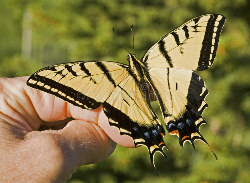 Swallowtail con dos colas a disposición fotografía de archivo
