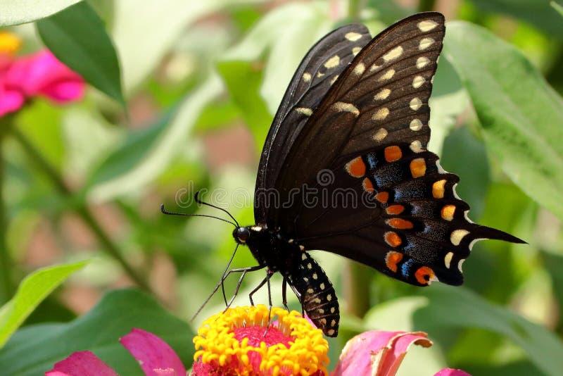 swallowtail czarny motyla zdjęcia royalty free