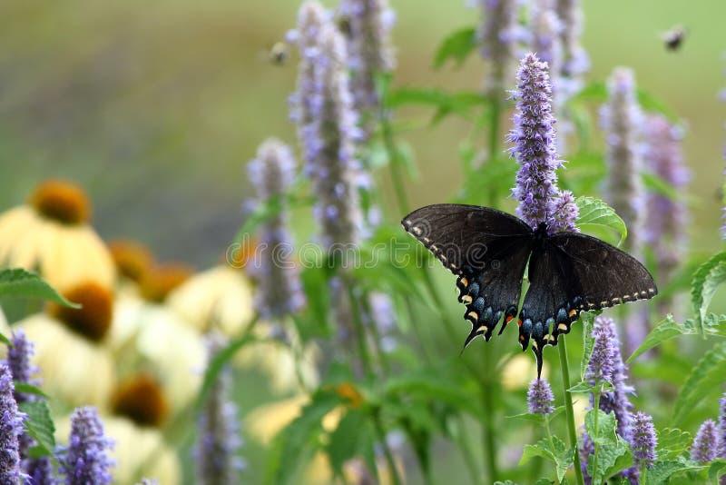 swallowtail czarny motyla fotografia royalty free
