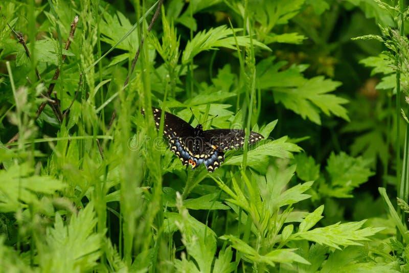 swallowtail czarny motyla obraz royalty free