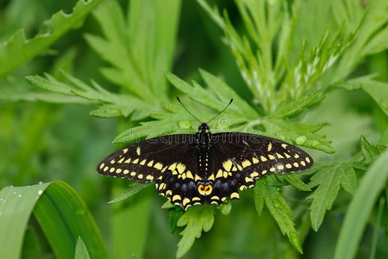 swallowtail czarny motyla zdjęcie royalty free