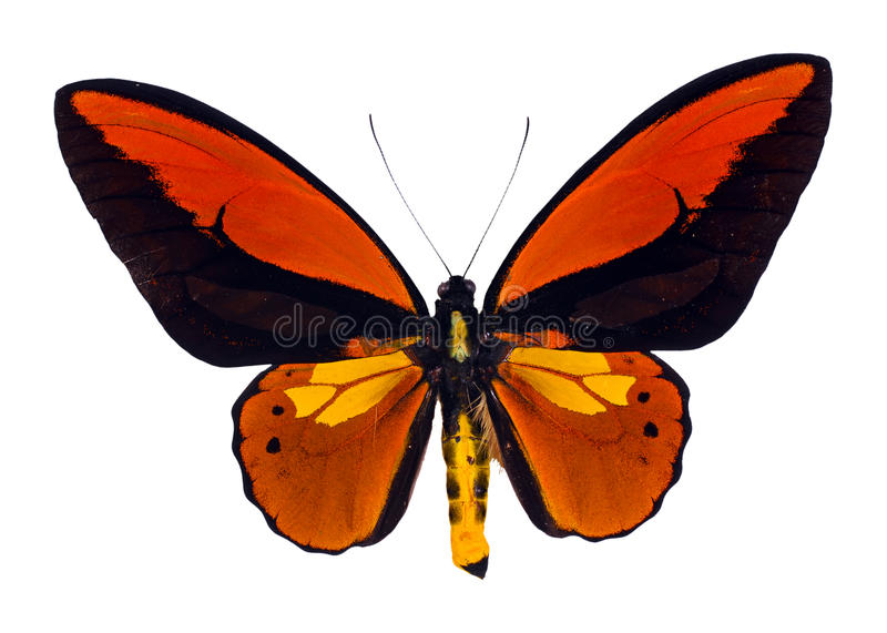 Swallowtail de Birdwing libre illustration