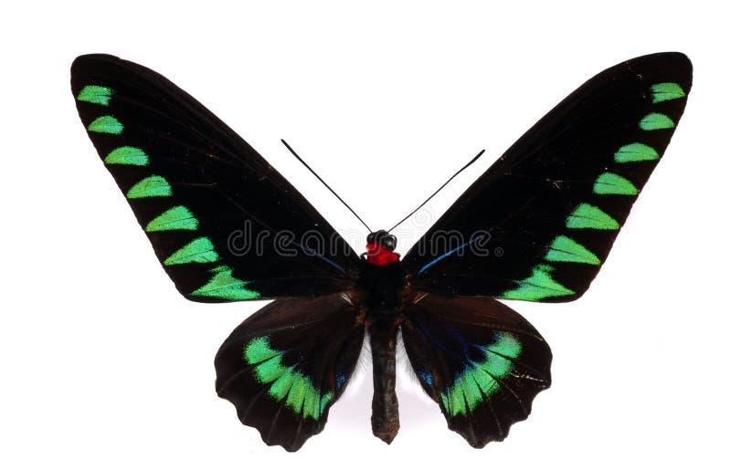 Swallowtail de Birdwing photographie stock