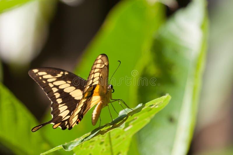 Swallowtail de Thoas no selvagem na floresta húmida. imagens de stock