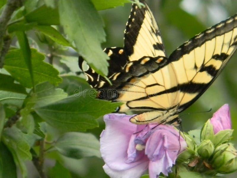 Swallowtail em Rosa de Sharon Bush imagens de stock royalty free