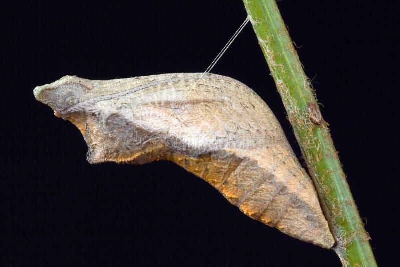 swallowtail för 2 fjärilspupa royaltyfria bilder