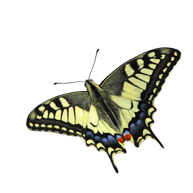 swallowtail för fjärilsmachaonpapilio arkivbilder