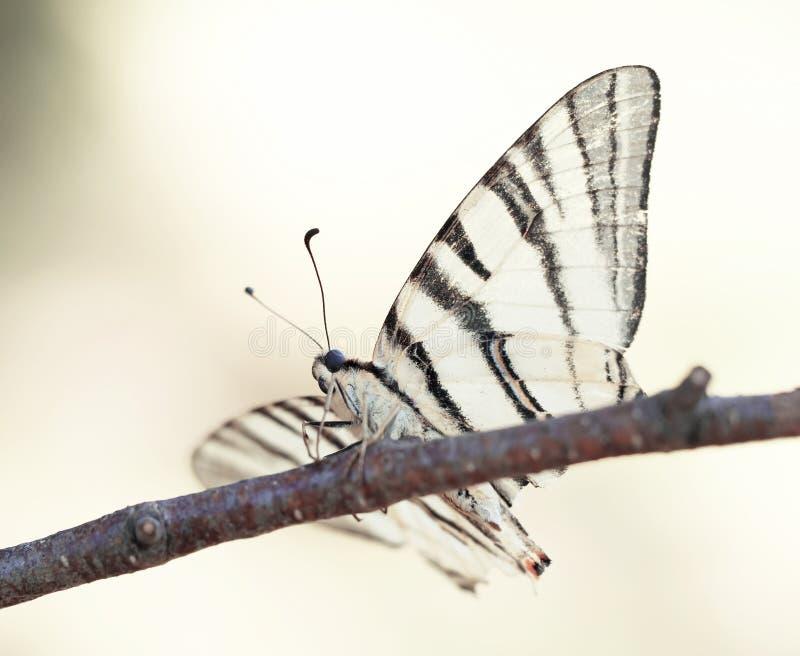 swallowtail för fjärilsmachaonpapilio arkivfoton