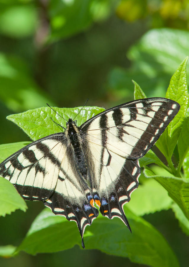 swallowtail för fjärilsmachaonpapilio fotografering för bildbyråer