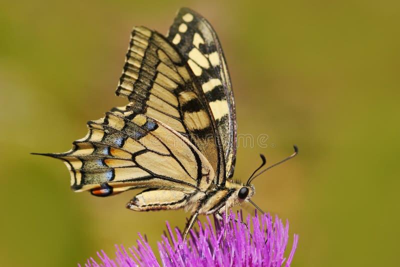 Swallowtail för gammal värld, Papilio machaon, fjärilssammanträde på den rosa blomman i naturen Sommarplats från ängen Beautifu royaltyfria bilder