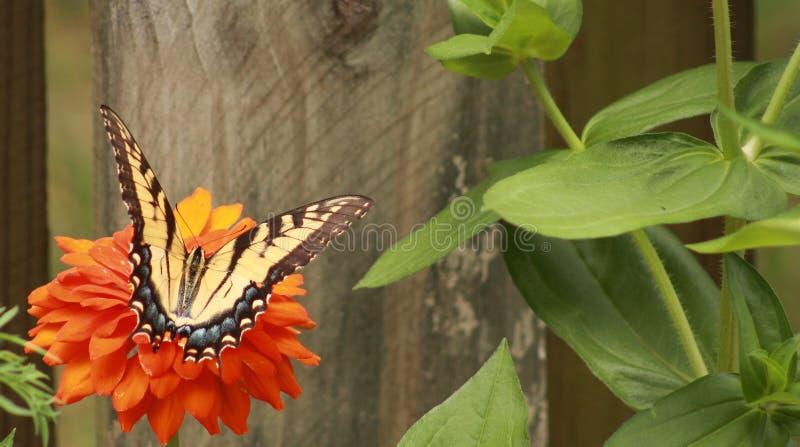 Swallowtail femenino en una flor anaranjada del Zinnia fotos de archivo