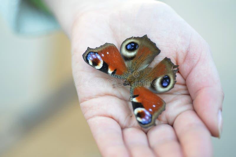 Swallowtail fjäril royaltyfri fotografi