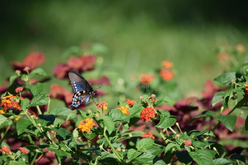 Swallowtail fjäril och Milkweed royaltyfria foton