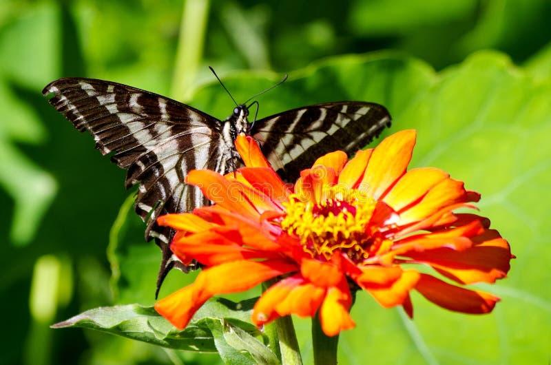 Swallowtail fjäril på den orange blomman royaltyfri foto