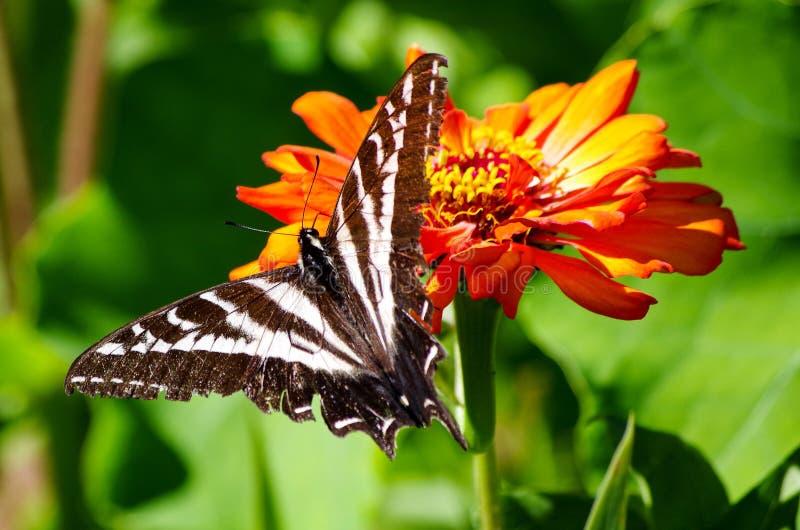 Swallowtail fjäril på den orange blomman arkivfoto