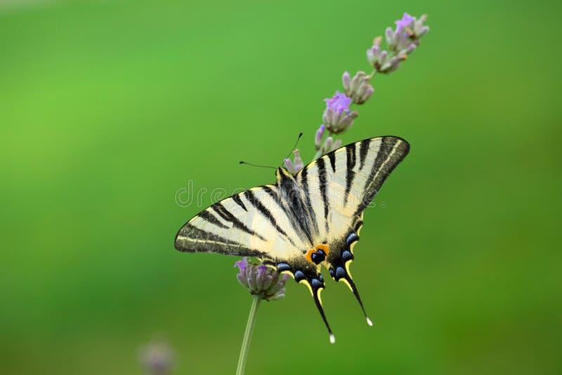 Swallowtail fjäril på lavendel arkivfoto