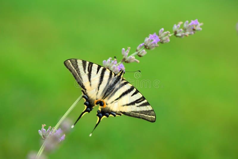 Swallowtail fjäril på lavendel royaltyfria foton