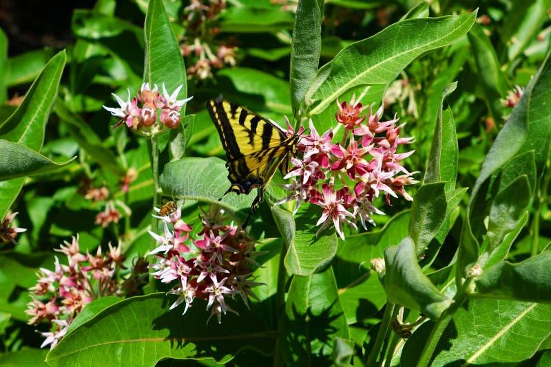 Swallowtail fjäril på Milkweed arkivbild
