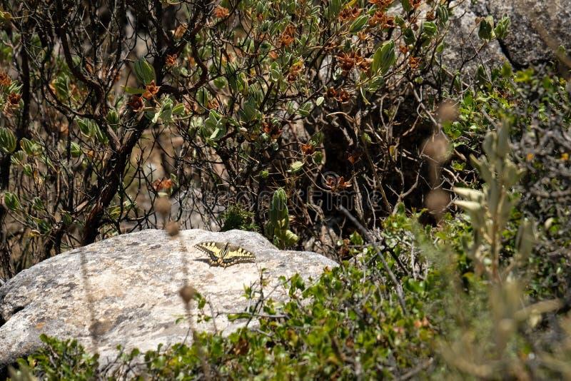 Swallowtail fjäril på monteringen Calamorro royaltyfria foton