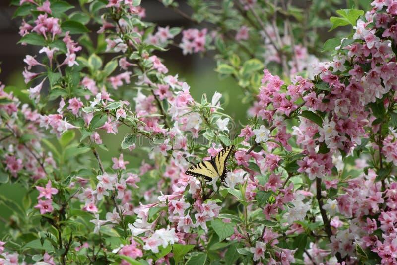Swallowtail fjäril på Weigela arkivbilder