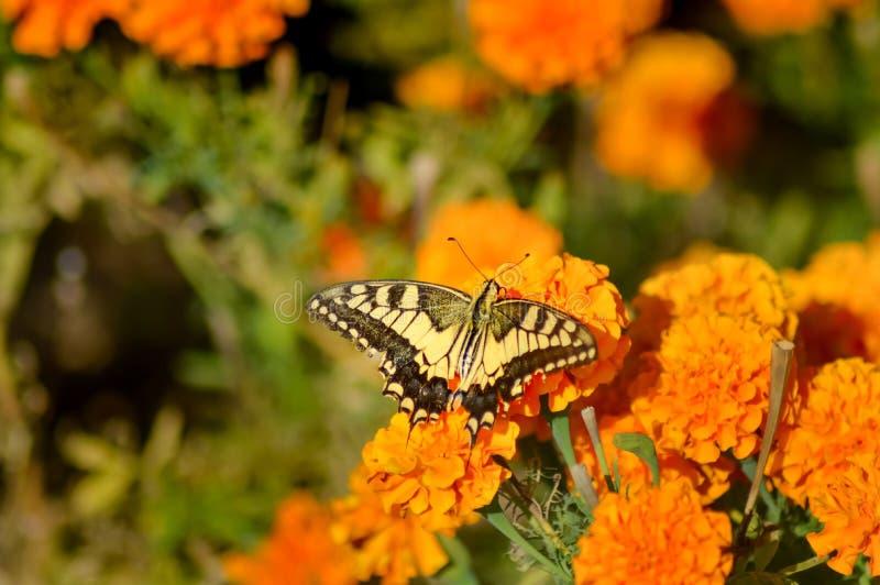 Swallowtail fjäril som poserar på en blomma royaltyfri fotografi