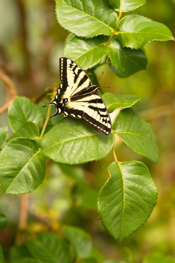Swallowtail fjäril som vilar Rose Bush Leaf royaltyfria bilder