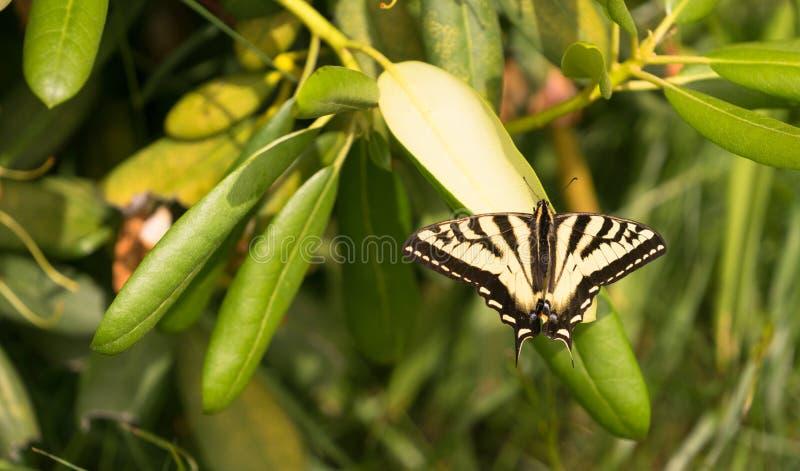 Swallowtail fjärilskryp som vilar bladet för trädgårds- växt fotografering för bildbyråer
