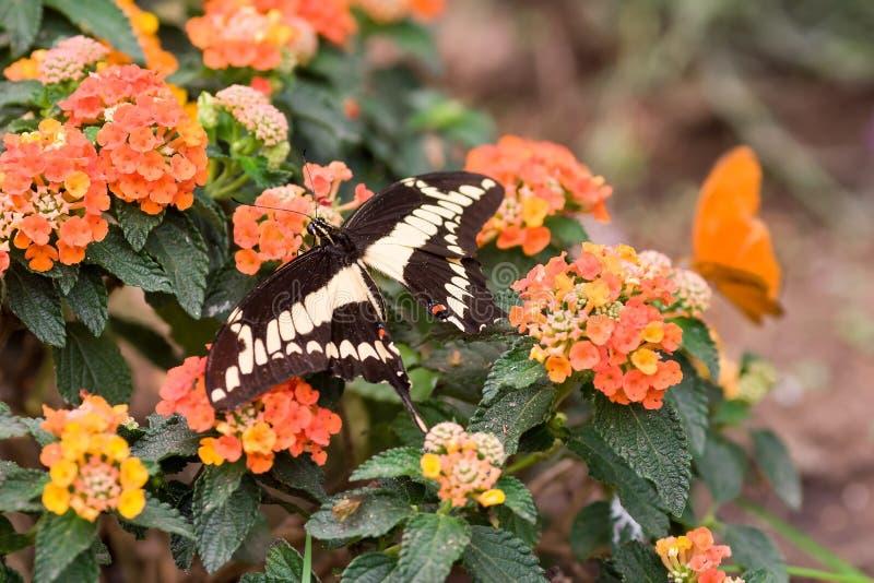 Swallowtail fjärilsPapilio machaon på blommor royaltyfria bilder