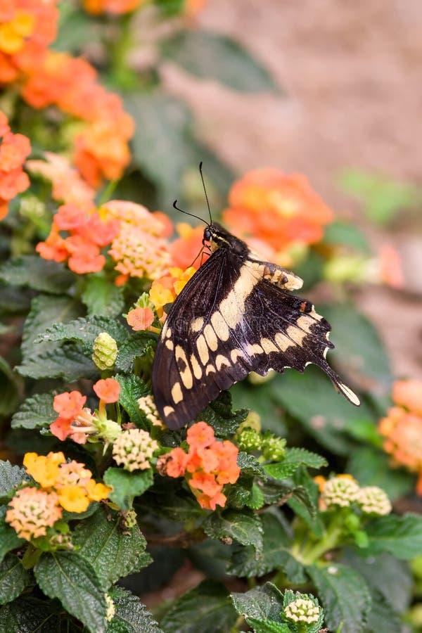 Swallowtail fjärilsPapilio machaon på blommor royaltyfri foto
